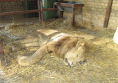 Lion Full Size