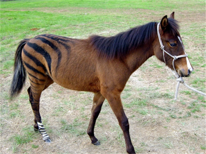 "Racing Stripes Brown ""Zebra"""