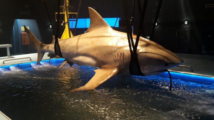Big 4.5 Meter Bull Shark in Wading Pool
